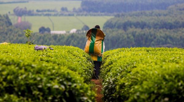 Tea plantation in Kenya