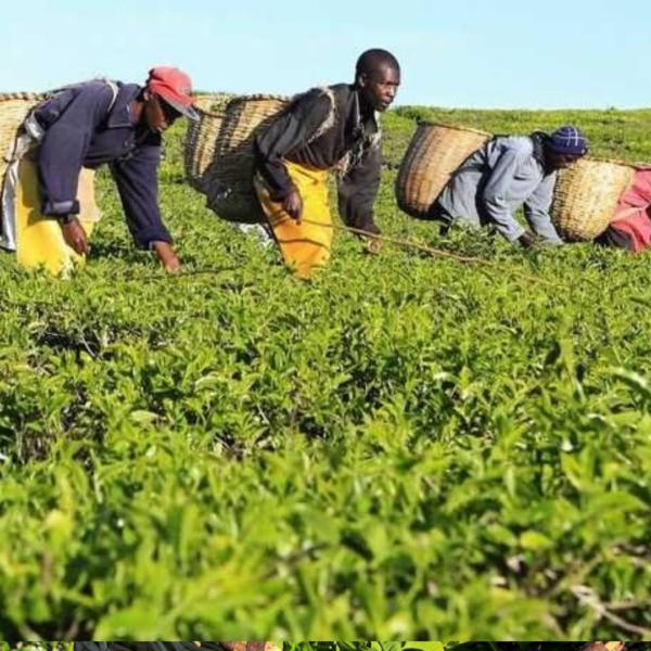 Tea-farming-1